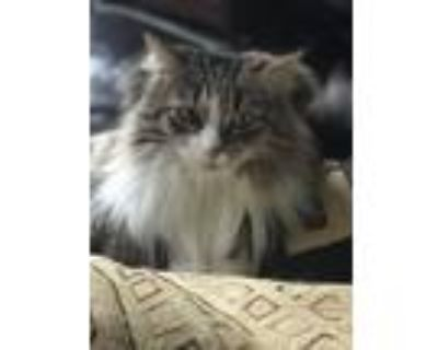 Adopt Stella a Gray, Blue or Silver Tabby Domestic Longhair / Mixed (long coat)