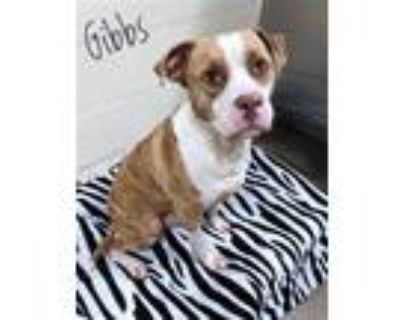 Adopt GIBBS a Brindle - with White American Pit Bull Terrier / Mixed dog in Fort