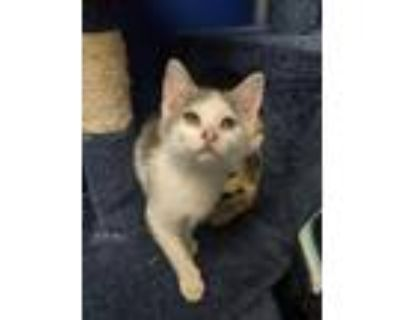 Adopt Sherice a Gray or Blue Domestic Shorthair / Domestic Shorthair / Mixed cat