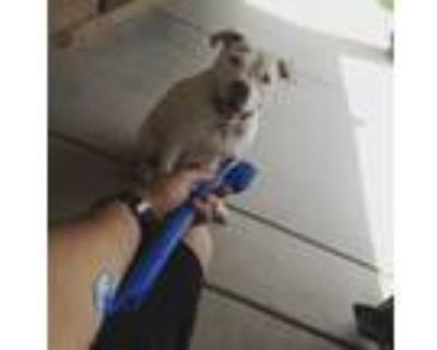 Adopt Snow a White American Pit Bull Terrier / Mixed dog in San Tan Valley