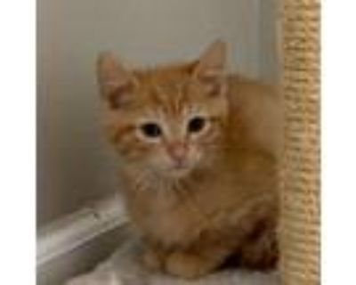 Adopt Eugene a Orange or Red Domestic Shorthair / Mixed cat in Waldorf