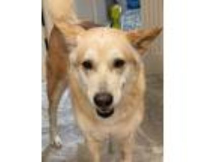 Adopt Maybell a White - with Tan, Yellow or Fawn German Shepherd Dog / Siberian