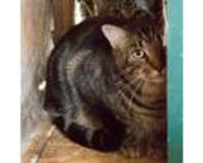 Adopt Mr. Kitty a Brown Tabby American Shorthair / Mixed cat in Shreveport