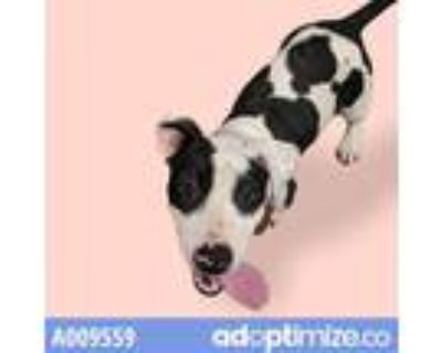 Adopt CHLOE a Black - with White American Pit Bull Terrier / Mixed dog in