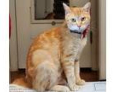 Adopt Bubbles 05-4223, Mom Cat (7 kittens) a Orange or Red Domestic Mediumhair /