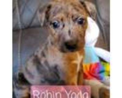 Adopt Robin Yoda a Australian Cattle Dog / Blue Heeler, Pit Bull Terrier