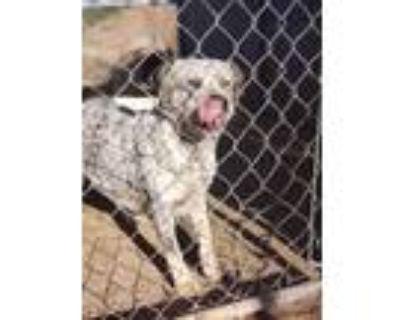 Adopt Mama a Australian Cattle Dog / Blue Heeler, Mixed Breed