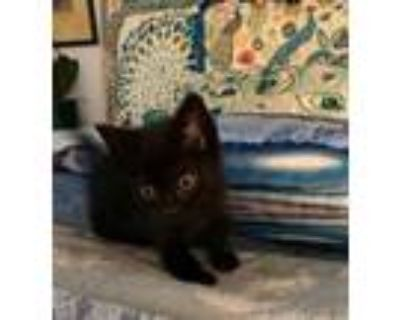 Adopt Miley a All Black Domestic Shorthair / Domestic Shorthair / Mixed cat in
