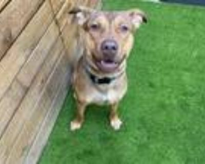 Adopt MACKLEMORE a Pit Bull Terrier, Mixed Breed