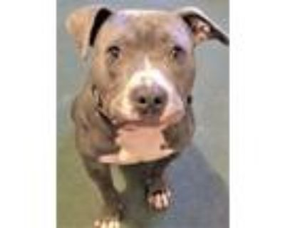 Adopt Cooper, loves everyone! a American Staffordshire Terrier, Boxer