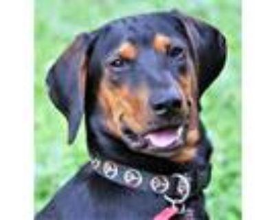 Adopt MOON a Black and Tan Coonhound, Doberman Pinscher