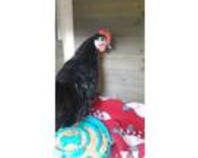 Adopt DALE a Black Chicken / Chicken / Mixed bird in Eau Claire, WI (31511171)