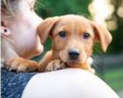 Adopt Ginger a Labrador Retriever, Beagle