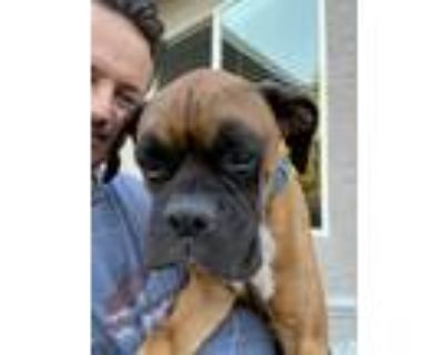 Adopt Rudy a Tan/Yellow/Fawn - with Black Boxer / Mixed dog in Rocklin