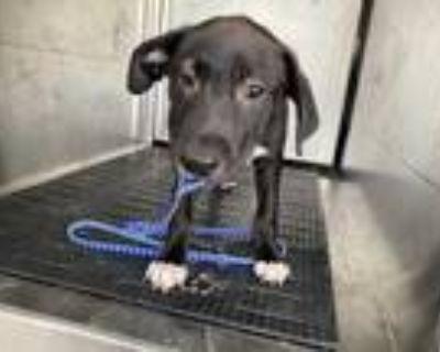 Adopt A838636 a Black - with White Labrador Retriever / American Pit Bull