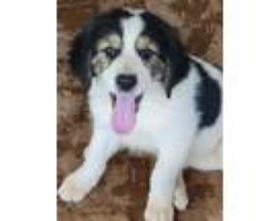 Adopt Zack a Tricolor (Tan/Brown & Black & White) Collie / Great Pyrenees /