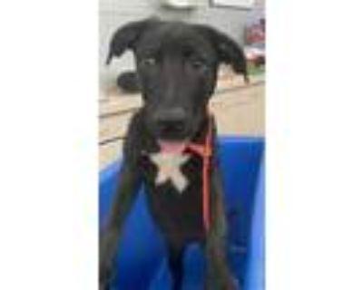 Adopt A1126472 a Black Labrador Retriever / Mixed dog in Dallas, TX (32107683)