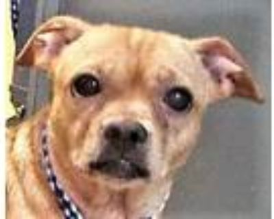 Adopt Neo a Tan/Yellow/Fawn - with White Pug / Dachshund / Mixed dog in