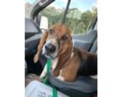 Adopt Rider a Tricolor (Tan/Brown & Black & White) Basset Hound / Mixed dog in