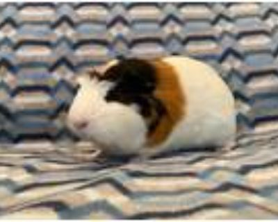Adopt Teddy a Guinea Pig small animal in Scotts Valley, CA (32104331)