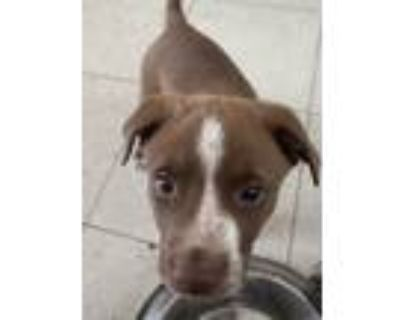 Adopt Coco a Brown/Chocolate - with White Border Collie / Pit Bull Terrier /