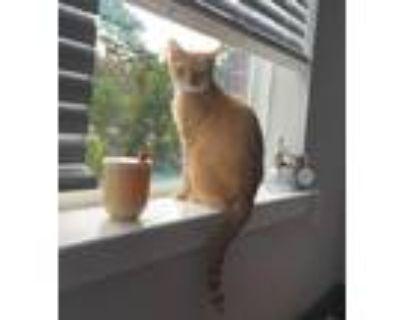 Adopt Belladonna a Domestic Shorthair / Mixed (short coat) cat in Hampton