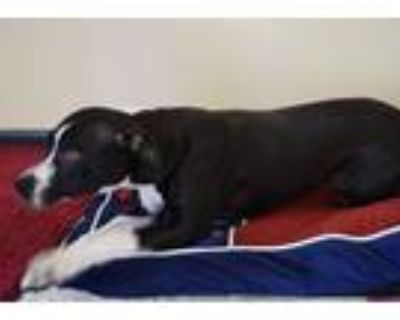 Adopt Jenny a Pit Bull Terrier