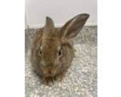 Adopt Judy a American / Mixed rabbit in Houston, TX (32063488)
