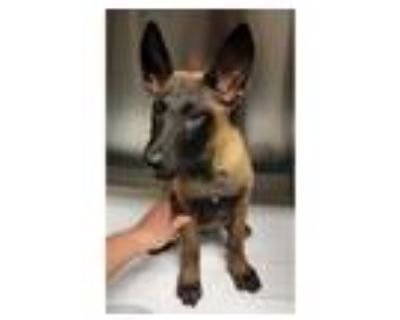 Adopt *MOSS a Brown/Chocolate - with Black Belgian Malinois / Mixed dog in