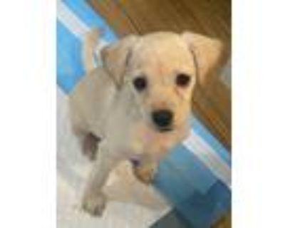 Adopt Bradley a Red/Golden/Orange/Chestnut Terrier (Unknown Type