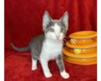 Adopt Dublin a Gray or Blue (Mostly) Domestic Shorthair (short coat) cat in