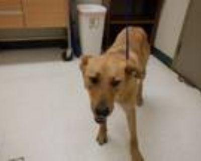 Adopt FOXY a German Shepherd Dog, Labrador Retriever