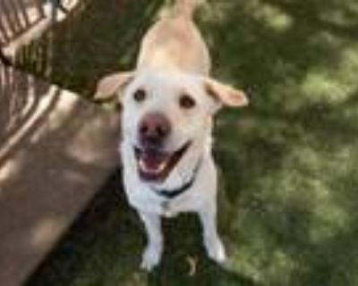 Adopt COCO a Labrador Retriever, Shar-Pei