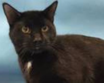 Adopt Mew Two a Domestic Short Hair