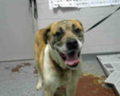 Adopt TOBY a Brown/Chocolate - with White Labrador Retriever / Mixed dog in