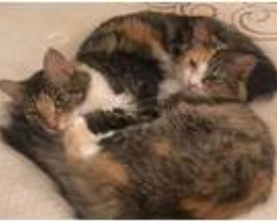 Catana, Maine Coon For Adoption In Los Angeles, California