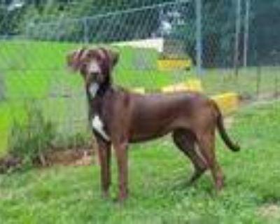 Adopt Xena a Brown/Chocolate Labrador Retriever / Mixed dog in Dahlonega