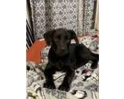 Adopt Daisy a Black Labrador Retriever, Mixed Breed