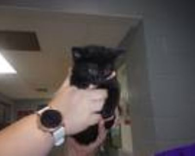 Adopt Wizard a Black (Mostly) Domestic Shorthair (short coat) cat in Troy