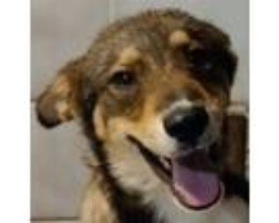 Adopt Ozzy a Australian Cattle Dog / Blue Heeler