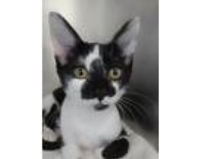 Adopt Suzy a Domestic Shorthair / Mixed (short coat) cat in North Fort Myers