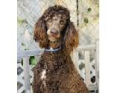 Adopt Nellie a Brown/Chocolate Standard Poodle / Mixed dog in Los Alamitos