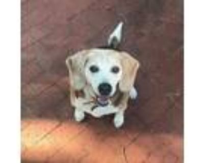Adopt Buddy - Foster Home Needed - URGENT a Beagle