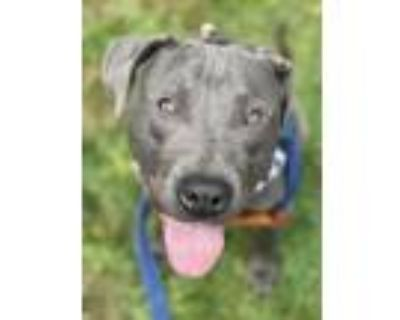 Adopt Henry a Pit Bull Terrier