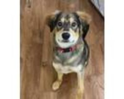 Adopt Blaze a Black - with Tan, Yellow or Fawn Shepherd (Unknown Type) / Mixed