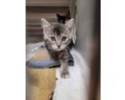 Adopt Rosemary a Gray or Blue Domestic Mediumhair / Domestic Shorthair / Mixed