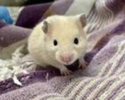 Adopt Renee a Tan or Beige Hamster / Hamster / Mixed small animal in Lowell