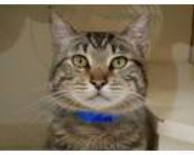 Adopt Alessandro a Domestic Shorthair / Mixed cat in Albuquerque, NM (31640439)