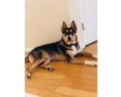 Adopt Loki a Black - with Tan, Yellow or Fawn Husky / Rottweiler / Mixed dog in