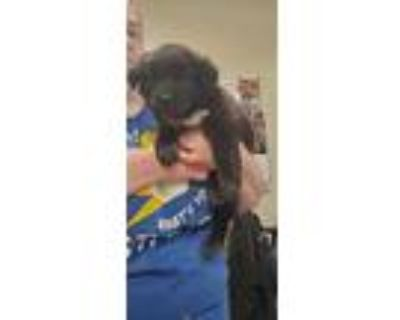 Adopt a Black Newfoundland / Mixed dog in Louisville, KY (31482310)